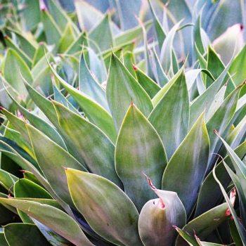 An agave cactus plant