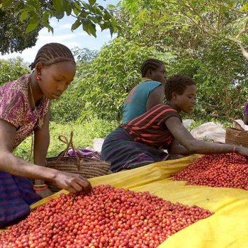 Ethiopian farmers sorting through coffee beans