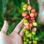 Fruit from a coffee tree farmed using organic methods