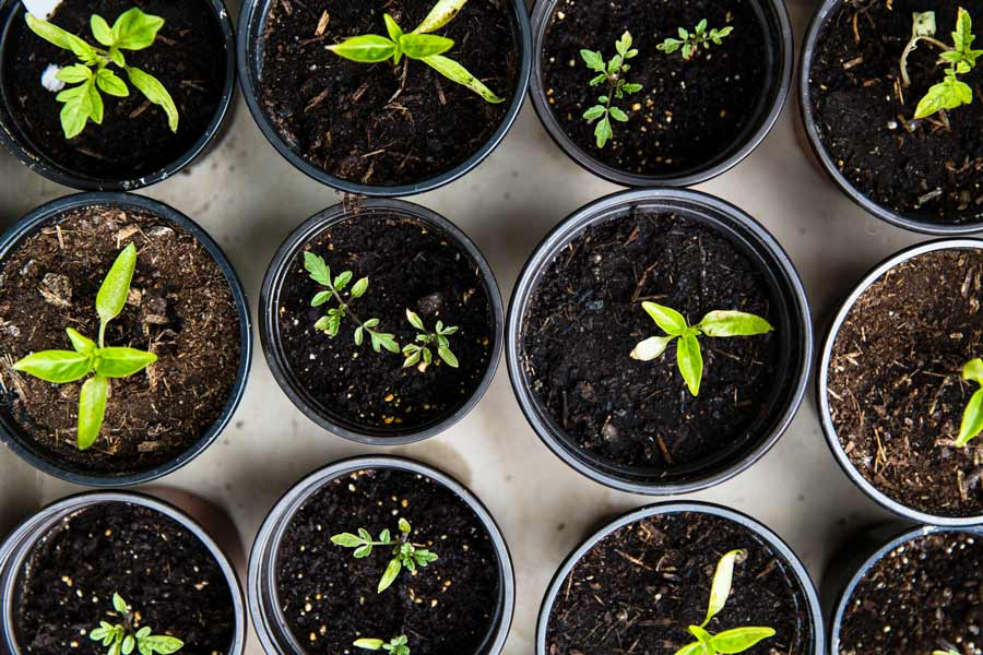 Seedlings in small pots filled with compost