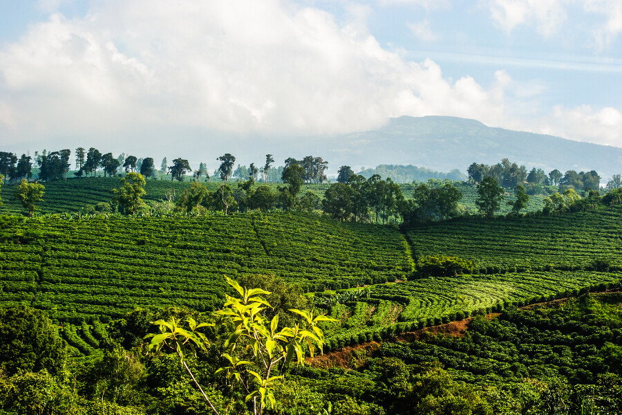 A coffee plantation at risk of climate change in Costa Rica.